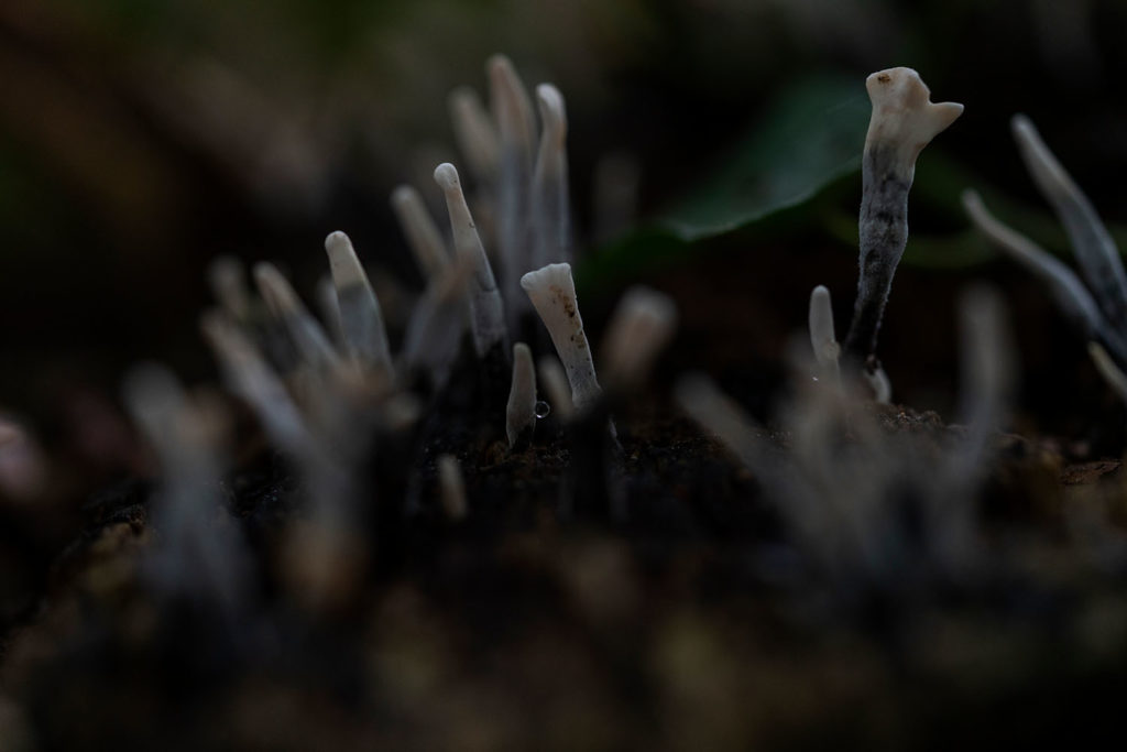 verschillende soorten paddenstoelen - geweizwam